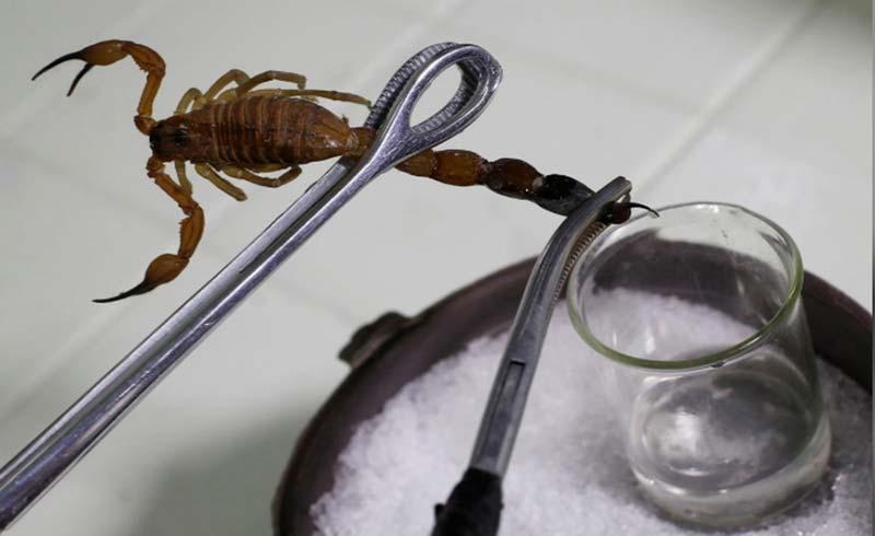 Cuba đẩy mạnh bào chế thuốc giảm đau từ nọc bọ cạp xanh