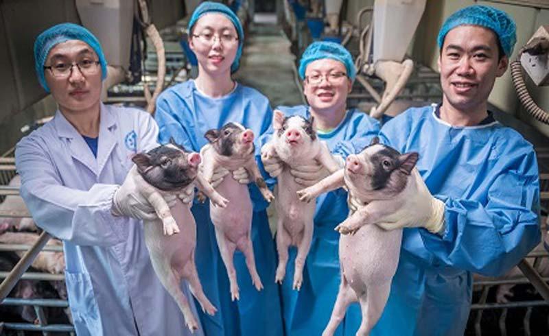 Những nghiên cứu thành công trên lợn: Mở ra phương pháp chữa bệnh cho người