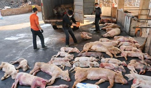 Sở Y tế Hà Nội bắt tay khống chế dịch tả lợn Châu Phi
