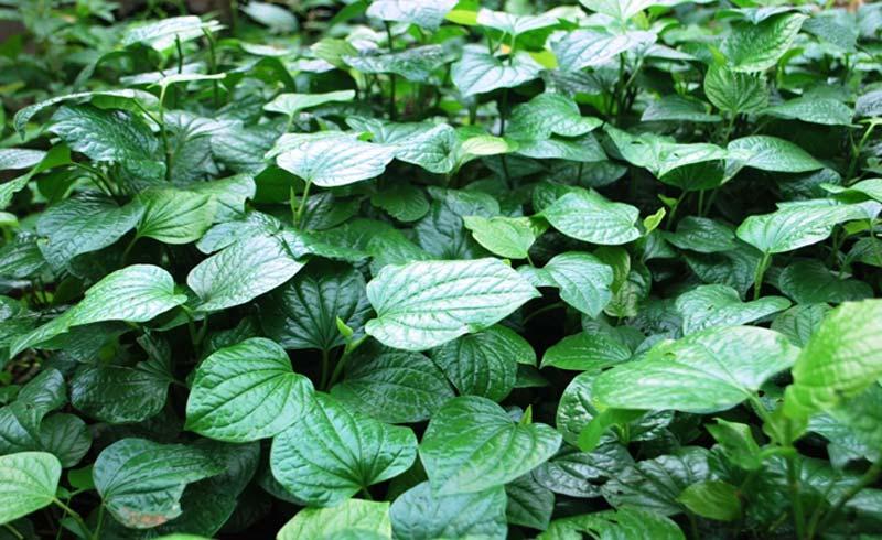 Lá lốt – loại rau chữa nhiều bệnh