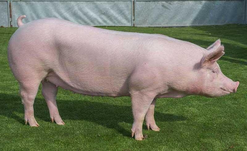 Ghép da lợn chữa bỏng cho người