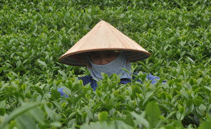 Những tác dụng không ngờ của lá trà xanh
